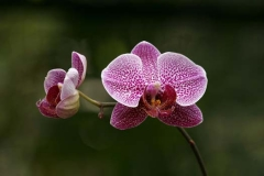 Orchid Impression1975